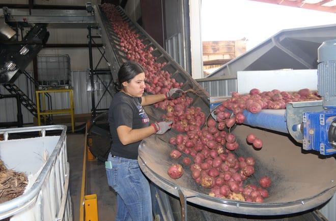 Esmerelda Gutierrez sorts through potatoes at Southwest Fresh Potato in Hugoton, Kansas.