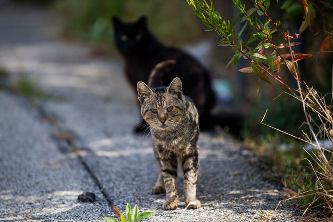 These and other feral cats may be relocated from their longtime habitat near Portage and Diamond avenues in South Bend to make way for construction of the city's Coal Line Trail.