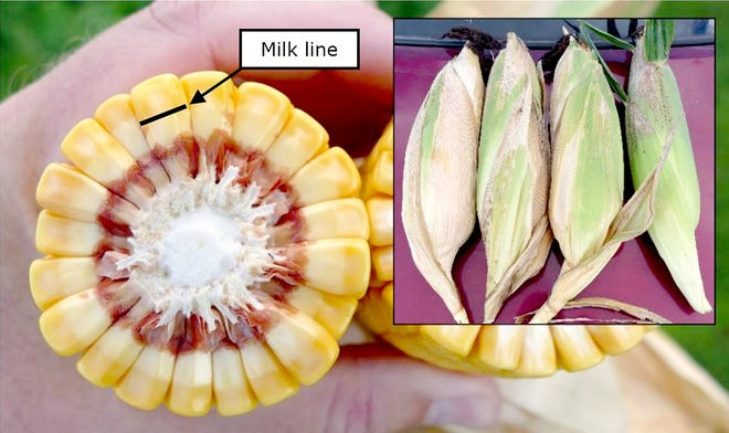 Corn at mid-dent stage (R5) with the milk line at 50 percent.