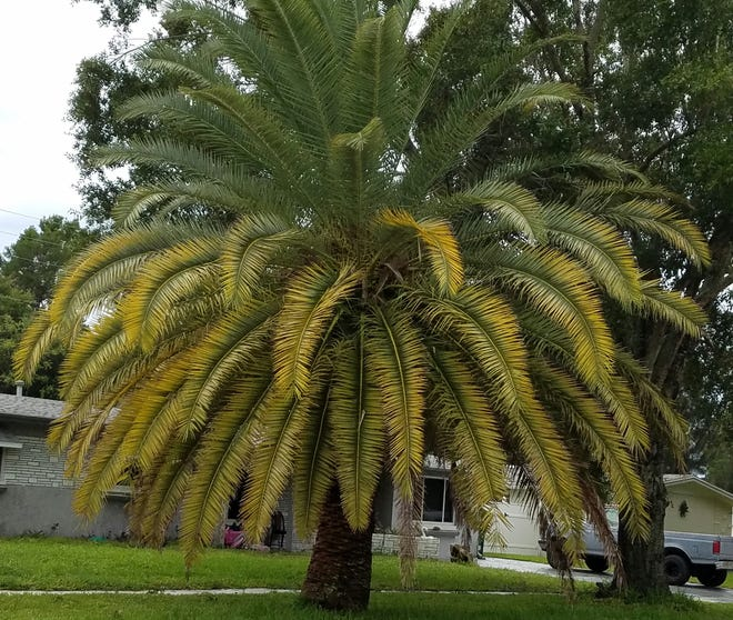 This Canary Island date palm is showing signs of magnesium deficiency and the beginning of a potassium deficiency.