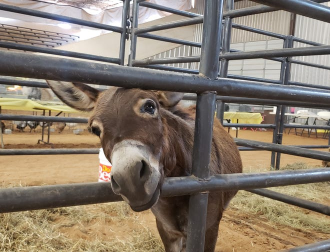 A donkey pops his head out of the pen to say hello at the Carter County Free Fair.