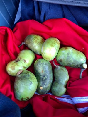 Several Ohio pawpaws harvested in late September 2020.