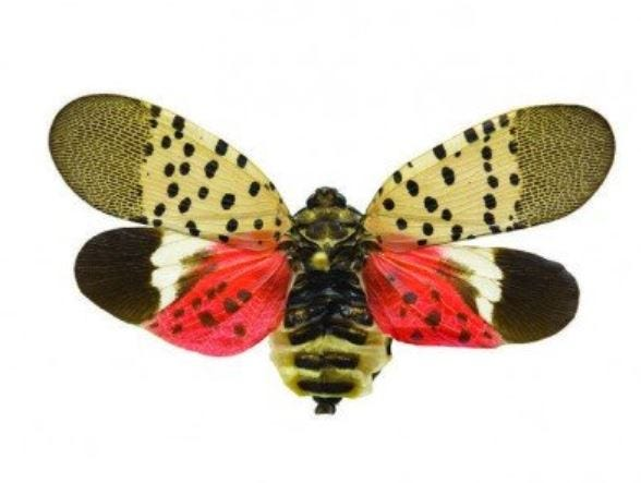 An adult Spotted Lanternfly is about one inch long. Visit https://extension.psu.edu/spotted-lanternfly for more information. / Penn State Extension image