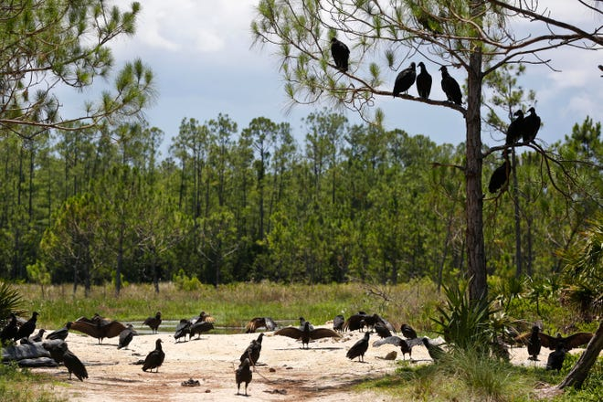 A committee of black vultures sit atop of a tree at the Panther Island Mitigation Bank, near Naples, Fla. A federal judge has thrown out Trump-era rule that ended federal protections for hundreds of thousands of small streams, wetlands and other waterways across the country.