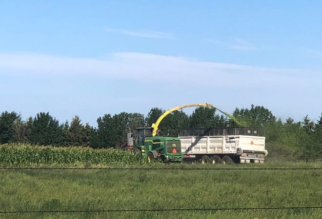 Some farmers may choose to forego harvesting their corn for grain.