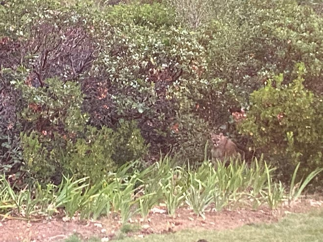 This mountain lion was seen in the Jefferson and Adams Drive area of Mount Shasta at about 7:30 p.m. on Sept. 2, 2021.
