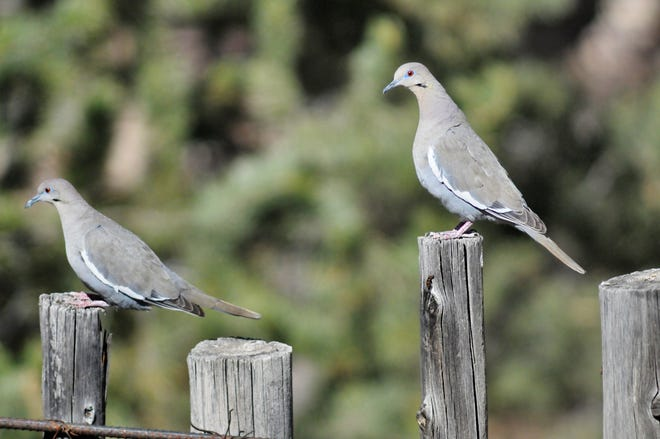 Two white-winged doves perch on wooden posts, weathered to the point of resembling the birds' own plumage coloring.