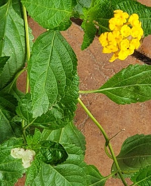 Reading signs of leaf and plant damage is important to identify your garden predator. White flour-like patches likely isn't caused by an insect at all but rather a common fungus, powdery mildew. If not treated it can spread to other plants.