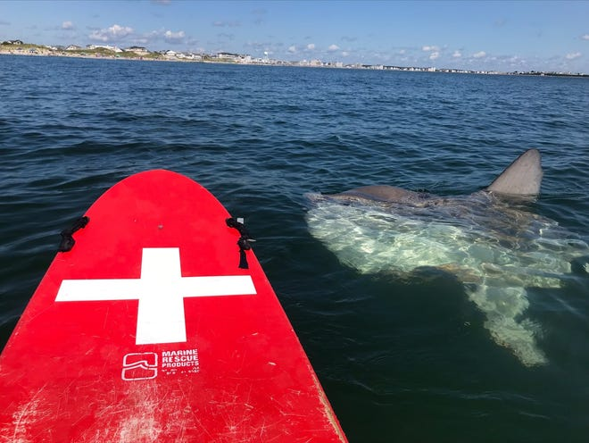 """New Hampshire State Parks posted this photo on its Facebook page with the caption """"It's an ocean sunfish (not what you were thinking)."""" The photo was taken by one of the Hampton Beach lifeguards while out on a rescue board Monday."""