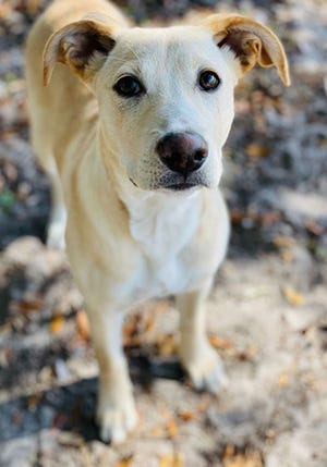 Raelyn, a young female Labrador Retriever, is available for adoption from SAFE Pet Rescue of Northeast Florida. Dog adoption fees are $300 for puppies and pure breeds, $250 for small breed adults, $200 for mix breeds 6 months to 7 years and $75 for mix breeds 8 years and older. Vaccinations and heartworm tests are up to date. Call 904-325-0196. SAFE is at 6101 A1A South in St. Augustine.
