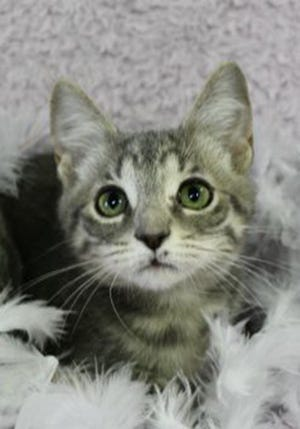 Sparkles, a baby female tabby, is available for adoption from Wags & Whiskers Pet Rescue. Adoption fees are $80 for adult cats and $90 for kittens. Routine shots, tests and deworming are up to date. Other available cats can be seen from noon to 5 p.m. Saturdays and Sundays at St. Augustine Petco in Cobblestone Plaza, 430 Cbl Drive. Call 904-797-6039 or go to wwpetrescue.org.