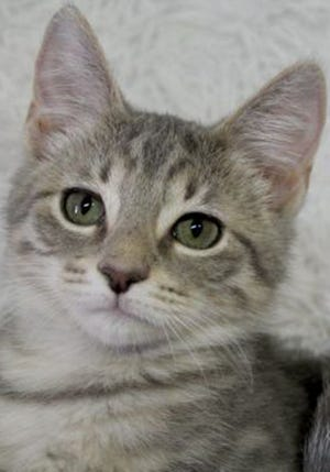 Christopher, a baby male tabby, is available for adoption from Wags & Whiskers Pet Rescue. Adoption fees are $80 for adult cats and $90 for kittens. Routine shots, tests and deworming are up to date. Other available cats can be seen from noon to 5 p.m. Saturdays and Sundays at St. Augustine Petco in Cobblestone Plaza, 430 Cbl Drive. Call 904-797-6039 or go to wwpetrescue.org.