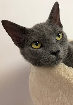 Trinity, a 2-year-old female domestic shorthair, is available for adoption at the St. Johns County Pet Center, 130 N. Stratton Road. Cat adoption fees, $40 for females, include microchips, neutering/spaying, rabies vaccinations and shots. Call 904-209-6190.
