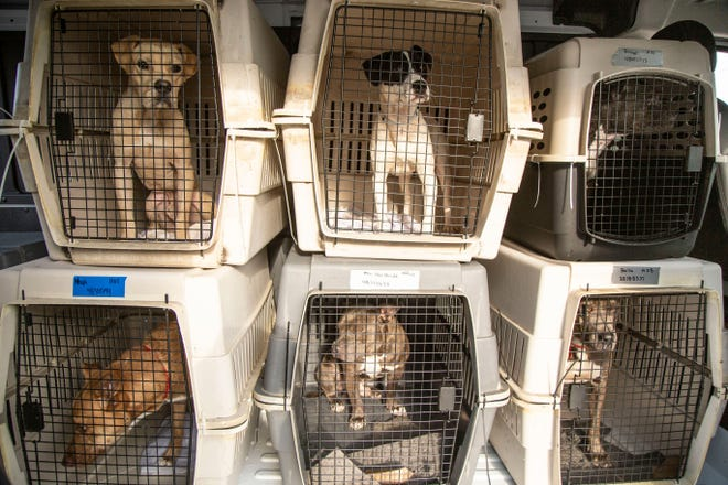 Arizona Humane Society has taken in 40 pets, including these dogs, that were displaced by Hurricane Ida. Soon the cats and dogs will be available for foster or adoption.