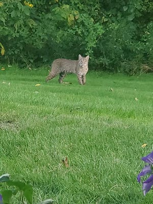 A Morgantown Avenue resident posted this photo of a mature bobcat in the family's back yard on Barnesville's east side on social media recently.  The writer suggested area residents keep a watchful eye on their pets.