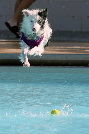 Bailey, an 18-month-old Australian shepherd, dives into the water after a tennis ball.