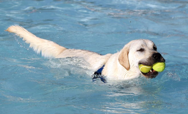 """Bentley, a 2-year-old English Labrador, swims around the pool with two tennis balls during Hilliard's annual end-of-year Doggie Dippin' swim Sept. 7 at the Clyde """"Butch"""" Seidle Community Pool on Schirtzinger Road."""
