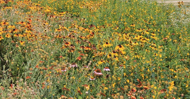 Wildflower gardens are growing in popularity across Oklahoma, and the fall season is a great time to establish one to adorn the landscape with bright, colorful flowers next spring.