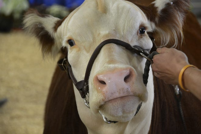 """There's plenty of animal personality  at the annual agricultural fair known as """"The Big E."""" The six state fair is back this year after the COVID pandemic cancelled last year's event."""