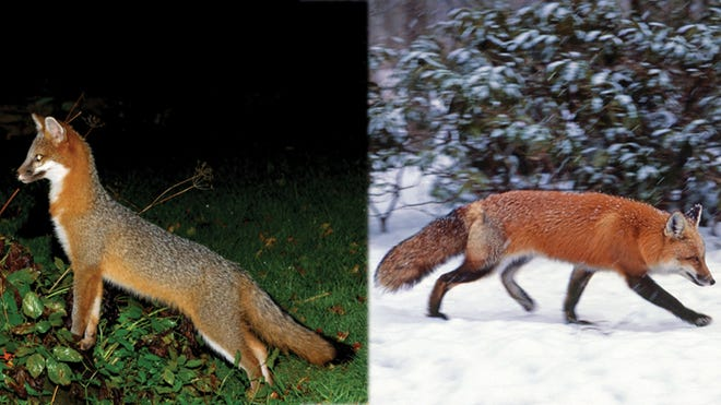 A gray fox, left, and red fox.