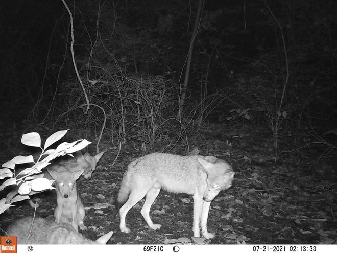 A coyote and her pups at night in Wesselman Woods Nature Preserve on July 21, 2021. The picture was taken by a motion-activated camera trap.