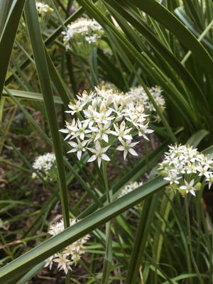 Garlic chives are in the Allium genus, which also gives us the common kitchen onion, as well as shallots and scallions, and Vidalia onions.