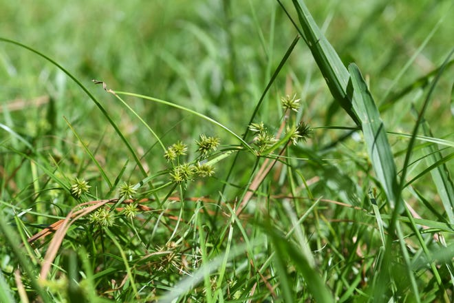 Clusters of globe sedge are sometime mistaken for sandspurs. Fortunately, the only pain they cause is to those in search of the perfect lawn without local weeds.