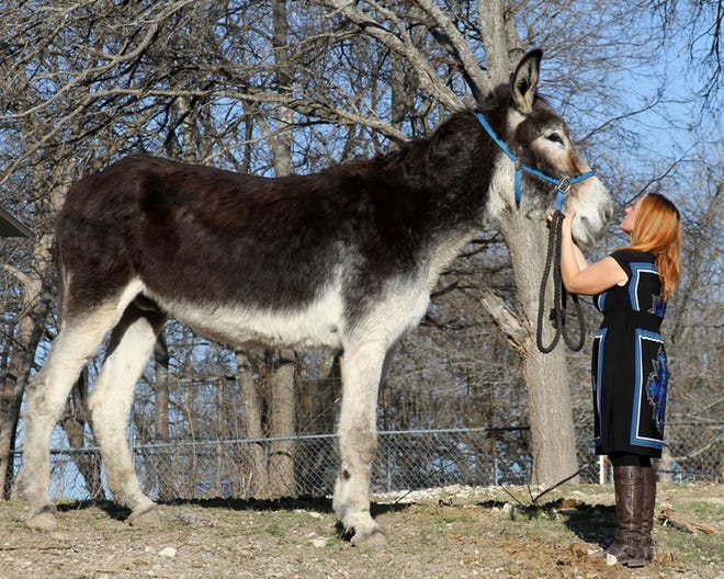 Cara Yellott is pictured with Romulus, a 17-year-old American mammoth jackstock donkey, that lives right here in Lenawee County in Raisin Township. Romulus was certified as the Guinness Book of World Records Tallest Donkey in 2013. He weighs more than 1,300 pounds.