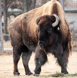 Titus, the bull bison at Lee Richardson Zoo was euthanized on Wednesday due to cancer. The bison had lived at the zoo for nearly 18 years.