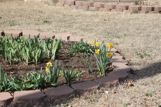 As summer turns to fall it is time to pick out and prepare to plant those bulbs that will flower in spring, according to Pratt County Master Garderner Chris Himmelwright.