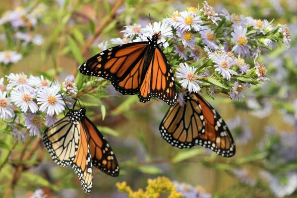 Monarchs are given paper tags. When found and reported, they help scientists track monarch movements and population numbers.