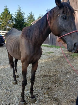 The Portage Animal Protective League says this mare, which was rescued Sept. 2, is showing some improvement, but is still in bad shape after being neglected. Four other horses rescued with her are in better condition, but a sixth died on Tuesday.