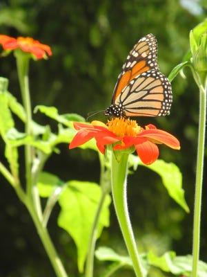 Fewer butterflies like the monarch, and fewer insects overall can be traced to continued use of broad-spectrum and systemic pesticides.