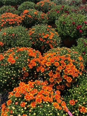 Cushion garden mums bursting out in fall colors at Precure Nursery as they get ready for sale to Oklahoma gardeners ready to beautify their yard with these hardy perennials.