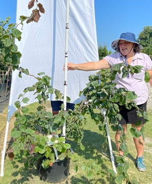 Friends of the Arboretum president Carolyn Thomas measures the height of the contorted filbert tree for sale.