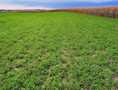 Alfalfa provides many benefits to the corn crops that follow it, with the most notable being higher yield and reduced need for nitrogen (N) application compared to when it is grown in other rotations.