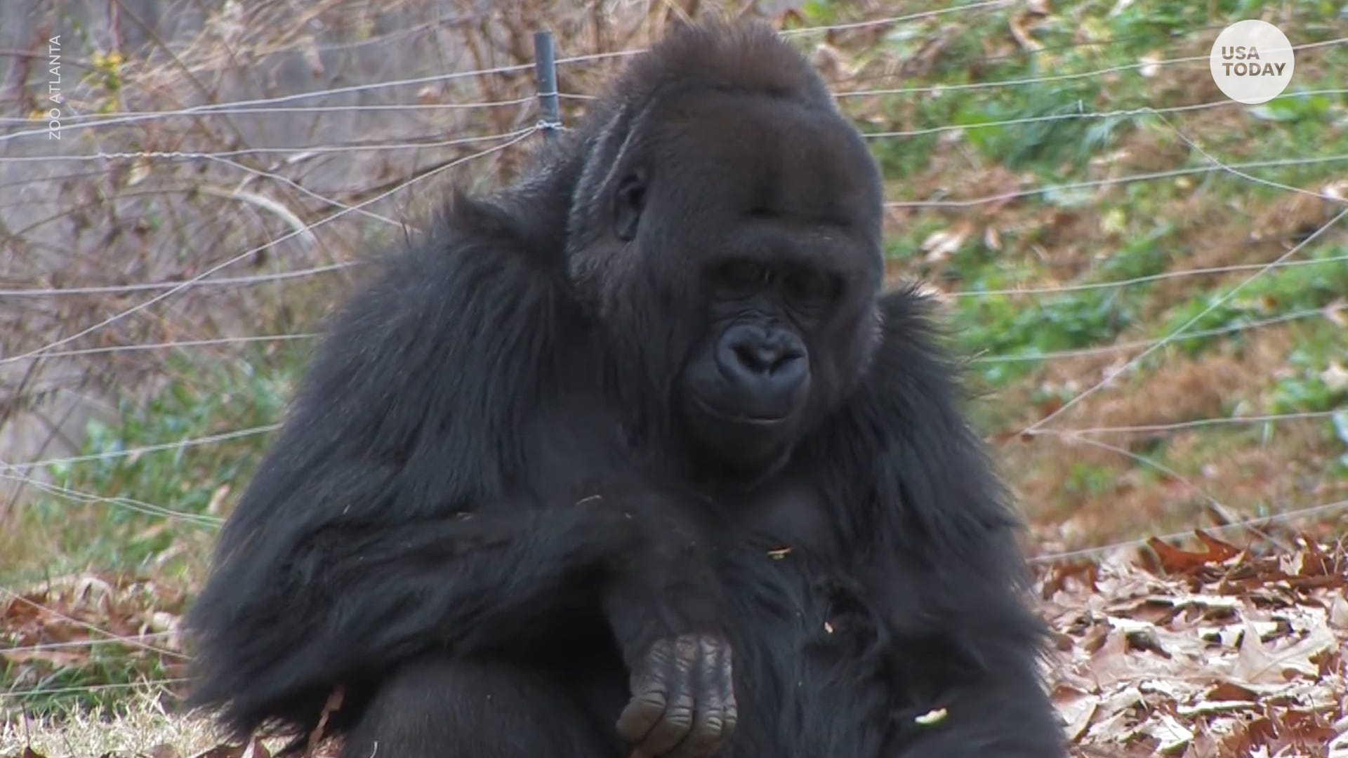 Gorillas at Atlanta Zoo to be vaccinated after testing positive for COVID-19