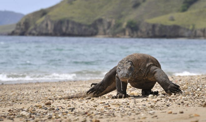 Komodo dragons have become endangered species due to climate change