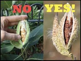 Common milkweed seedpods should be collected when they are dry, gray or brown.