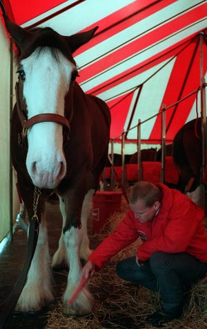 """A team of 10 Budweiser Clydesdales was a """"mane attraction"""" at the brewery in 1995. Here, draft horse Tom, 9, was being groomed for a public meet and greet session."""