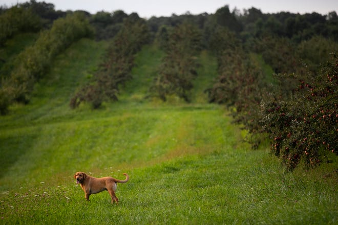 Ranger the Yeary's Orchard farm dog, runs through the trees keeping the workers company and looking for rodents, during apple harvesting season, Wednesday, September 8, 2021.