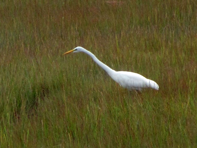 This snowy great egret is among the residents at the Belle Isle Marsh Reservation.