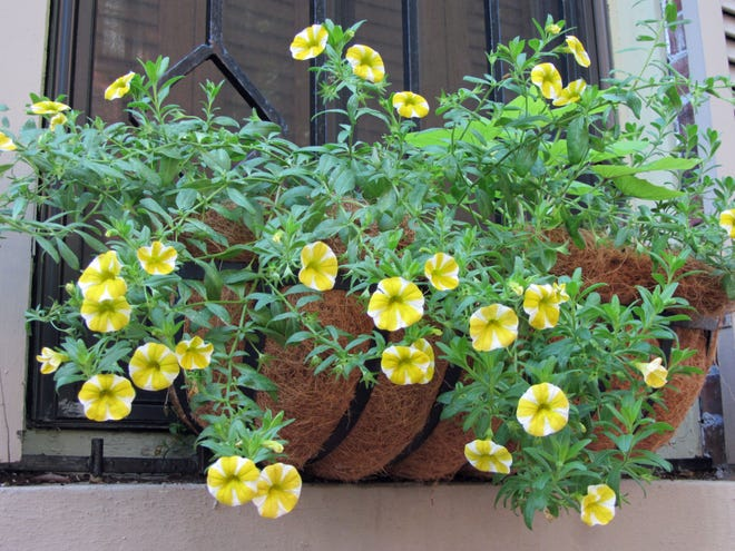 Adding to the summer beauty of the city, many homes in the South End have planted flowers in window boxes.