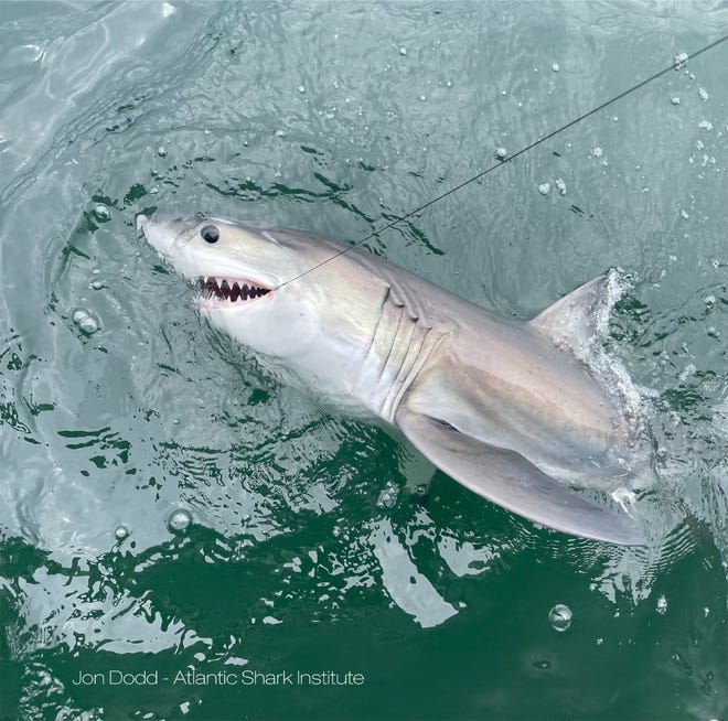 """Researchers tagged eight white sharks in waters near Rhode Island this summer, including this shark, which is just 3 months old and 4-feet, 1-inch long. """"As you can see, she is already sporting an impressive set of teeth,"""" says Jon Dodd, director of the Atlantic Shark Institute in Wakefield."""