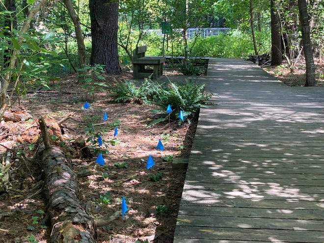 The Blue Ridge Audubon Chapter has been spraying an herbicide in the Beaver Lake Bird Sanctuary to get rid of invasive plant species. The blue and orange flags mark native plants that have been planted.