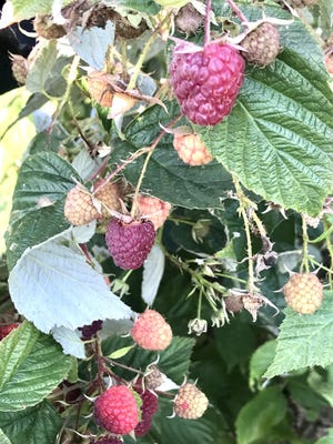 Raspberry picking is open and will continue at Henke's Upick Raspberries in Jackson until the first frost arrives.