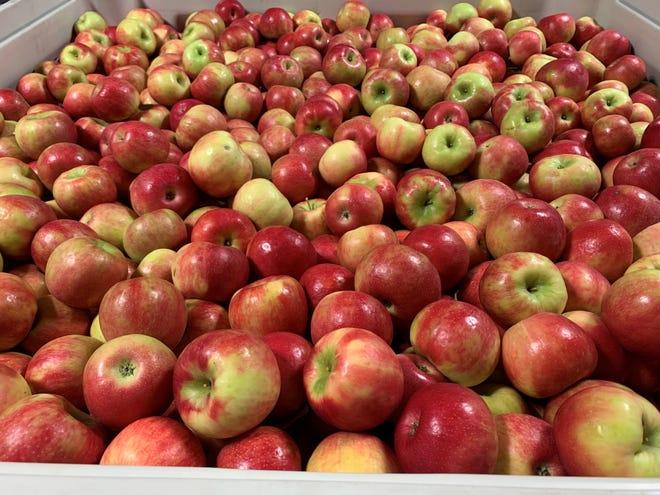 A bin full of apples at Helene's Hilltop Orchard.