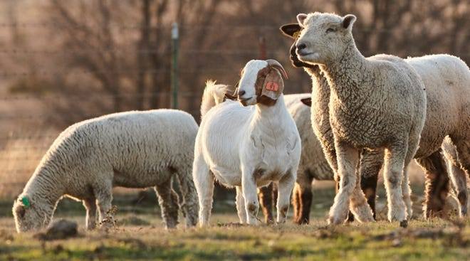 Feed a quality mineral year-round that is balanced for your sheep or goat's nutrient needs to optimize performance.