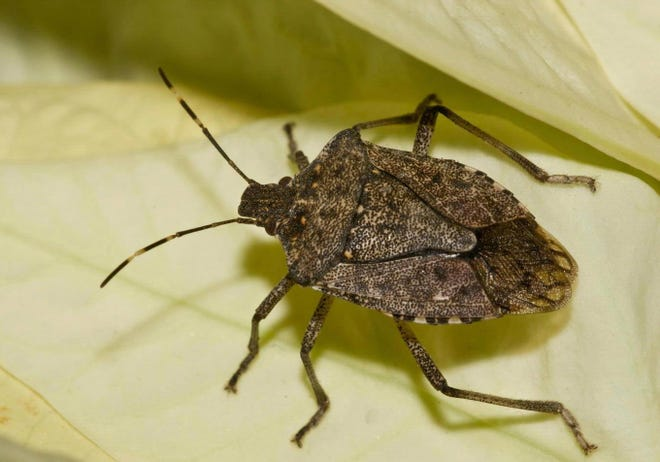 Brown marmorated stink bugs are an unwelcome sight inside the home.