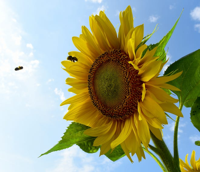 The National Sunflower Association survey measures yield components and factors that limit yield.